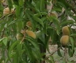 Pfirsich-Rhabarber-Marmelade