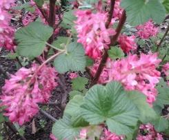 Cassis Blütensirup